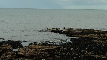 Seals at Portgordon beach